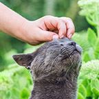 A gray cat being petted on the head
