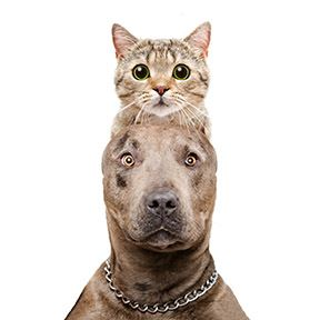 A portrait of an adult tabby cat positioned above an adult pit bull.