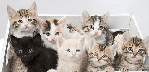 A grouping of young white and tabby kittens sitting in a box.