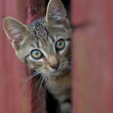 Photo of a feral tabby cat by a barn.