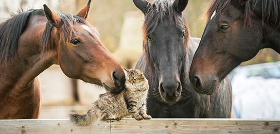 View of a long hair cat on a fence with three horses.